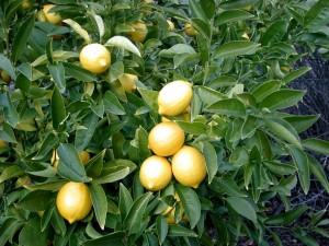 Citrus limon (L.)