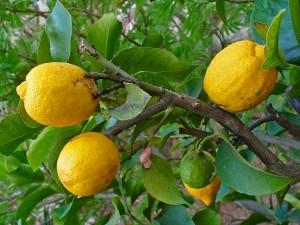 Citrus medica L