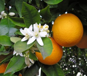 Citrus sinensis (L.)