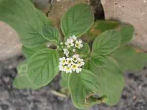 Heliotropium europaeum L