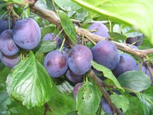 Prunus domestica L