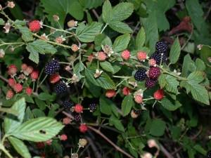 Rubus spp