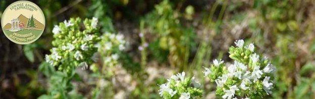 Προστασία Αρωματικών – Φαρμακευτικών Φυτών στον Παρνασσό