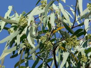 Eucalyptus spp