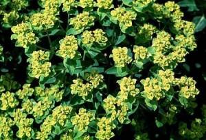 Euphorbia spp