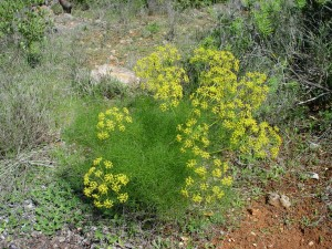 Foeniculum vulgare Miller