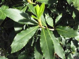 Laurus nobilis L
