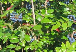 Mahonia spp.