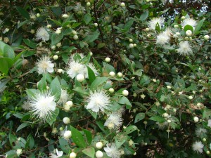 Myrtus communis L