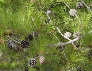Pinus brutia Ten
