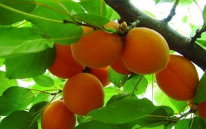Prunus armeniaca L