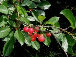 Prunus cerasus L