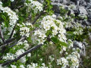 Prunus mahaleb L