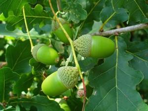 Quercus spp
