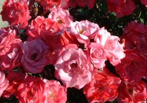 Rosa spp.