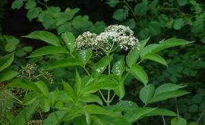 Sambucus nigra L