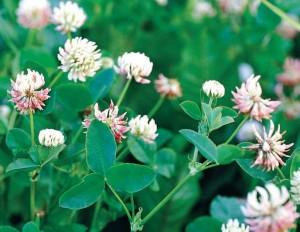 Trifolium hybridum L.