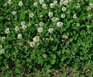Trifolium repens L